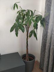 gesunde Zimmerpflanze mit Übertopf