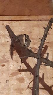 Himalaya Zwergstreifenhörnchen Tamiops maccellandi