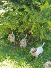 sportliche Australien Cattle Dogs