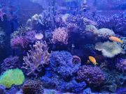 Verkaufe schöne Korallenableger