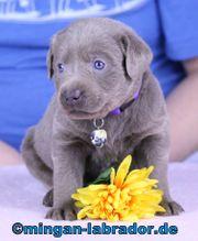 Edle Labrador Welpen in Silber