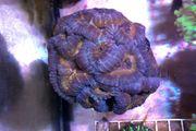 Verschiedene Korallen SPS LPS Zoanthus