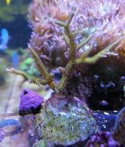 korallenableger Seriatopora bicolor