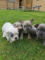 Französische Bulldogge WELPEN BLUE