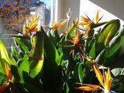 Blumenstock Papageienblumen-Strelizie
