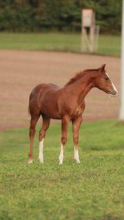 Quarter Horse Hengstfohlen von Sharp