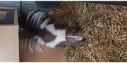 Junger Skunk Stinktier