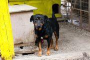 BRAVEHEART - Rottweiler Mix - sucht Familienanschluß