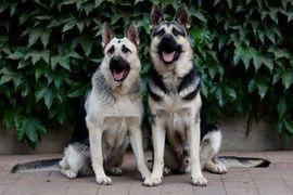 Schäferhund Welpen mit gerader Rückenlinie