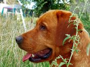 Labradorrüde sucht neues Zuhause