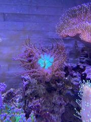 Sandanemone Meerwasser