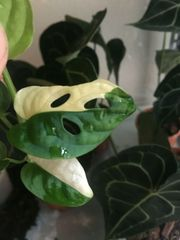 Monstera adansonii variegata Rare Half-Moon