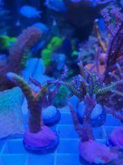 Meerwasser Korallen Ableger sps Zoanthus