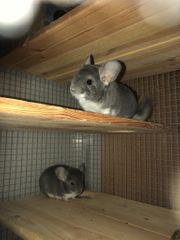 2 Chinchilla Böcke