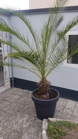 Palme Canarische Dattelpalme: Kleinanzeigen aus Nürnberg - Rubrik Pflanzen