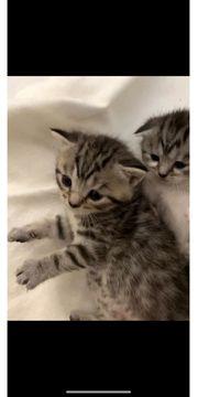 wunderschöne BKH Scottish kitten