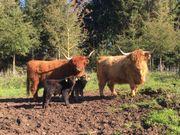 Highland Cattle 2 typvolle Kühe