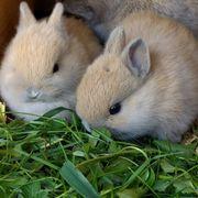 Zwergkaninchen Kaninchen geimpft Partner Kastrat