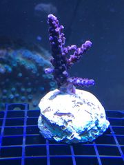Korallen Korallenableger Meerwasser mit Versand