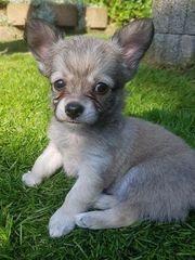 Reinrassige LH Chihuahua Welpen