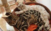 Reinrassige Bengal-Katzen mit Papieren
