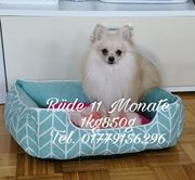 Mini Pomeranian Zwergspitz Billiger