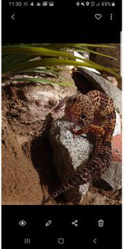 Leopardgecko 1 0