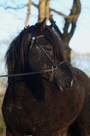 Deckanzeige Curly Horse Immer fohlen