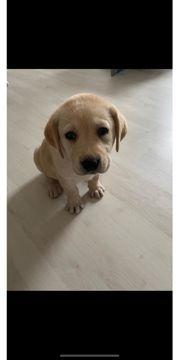 golden Labrador Welpe