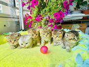 Reinrassige BKH Kitten Katzenbabys
