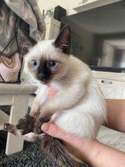 5 Siam Kitten