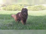 Wurfankündigung reinrassige Leonberger mit Ahnentafeln