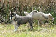 Reinrassige Siberian-Husky Welpen
