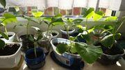 Hokkaido Kürbis Setzling Jungpflanze 15-20cm
