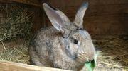 Kaninchen Hasen Stallhasen