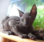 Reinrassige Don-Sphynx Kitten SSV
