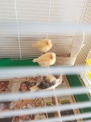 3 junge Kanarienvögel - Eigenzucht - einzeln