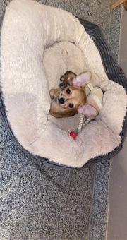 süßes Chihuahua Mädel