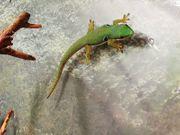 Pfauenauge-Taggecko lat Phelsuma quadriocellata 149EUR