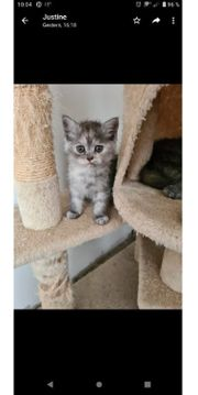 Babykatzen Perser Chinchilla- BKH Mix