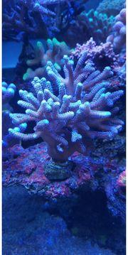 seriatopora blau lila stock sps