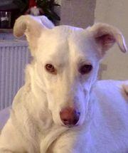 Aiko 2 5 Jahre Herdenschutzhund