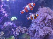 Clownfisch-Pärchen mit Kupferanemone