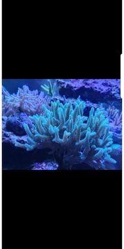 seriatopora grün Ableger korallen Meerwasser