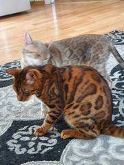 Schöne Bengalkatzen