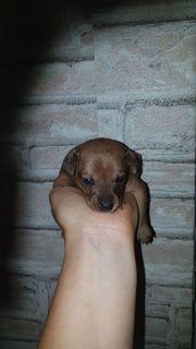 Russische toy Terrier welpen