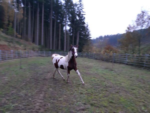 Paint Horse Stute geb Mai