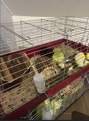 Meerschweinchen inkl Käfig