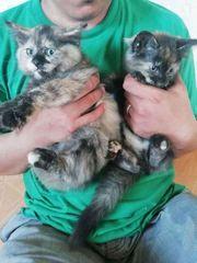Schöne Ragdoll Kätzchen brauchen ein