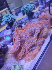 Rhodactis Supermann Koralle Scheibenanemone